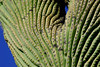 """A detailed view of the largest cactus in the world, the Saguaro. <div id=""""caption_tourlink"""" align=""""right"""">[photo © participant Dave Chantler]</div>"""