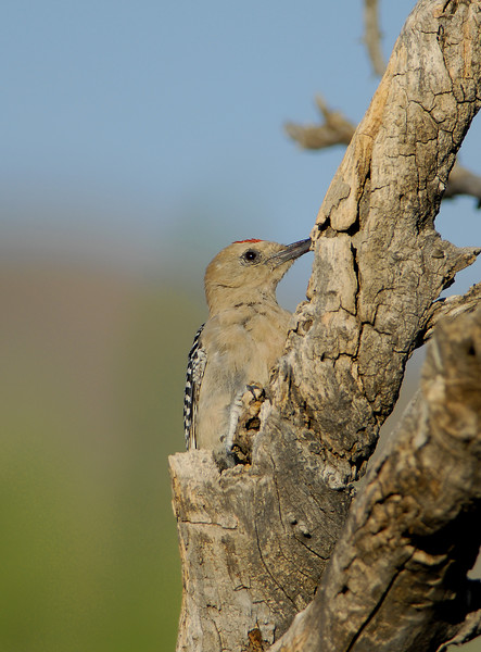 """From this angle, a Gila Woodpecker blends right into its perch.<div id=""""caption_tourlink"""" align=""""right"""">[photo © participant Dave Chantler]</div>"""