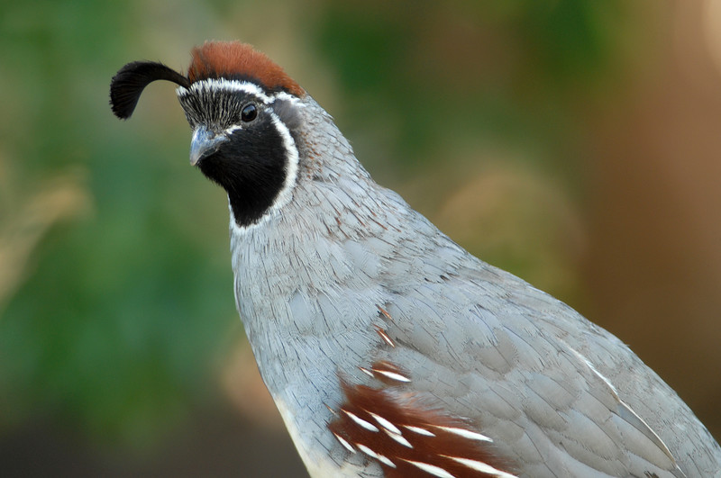 "Gambel's Quail <div id=""caption_tourlink"" align=""right"">[photo © participant Dave Chantler]</div>"