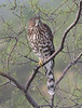 "A young Cooper's Hawk <div id=""caption_tourlink"" align=""right"">[photo © guide Chris Benesh]</div>"
