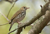"Ovenbird  <div id=""caption_tourlink"" align=""right"">[photo © guide George Armistead]</div>"