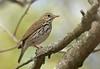 "Ovenbird  <div id=""caption_tourlink"" align=""right"">[photo © guide George Armistead]</div>"