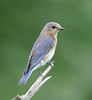 "Eastern Bluebird  <div id=""caption_tourlink"" align=""right"">[photo © guide George Armistead]</div>"
