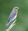 "Eastern Bluebird  <div id=""caption_tourlink"" align=""right"">[photo © guide George Armistead]</div>"