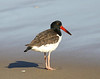 "American Oystercatcher  <div id=""caption_tourlink"" align=""right"">[photo © guide George Armistead]</div>"