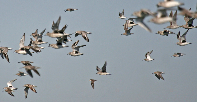 """A mixed flock of shorebirds, with Black-bellied Plovers being the most obvious species in this bunch  <div id=""""caption_tourlink"""" align=""""right"""">[photo © guide George Armistead]</div>"""