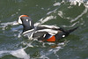 "Harlequin Duck  <div id=""caption_tourlink"" align=""right"">[photo © guide George Armistead]</div>"