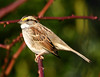 "White-throated Sparrow  <div id=""caption_tourlink"" align=""right"">[photo © guide George Armistead]</div>"