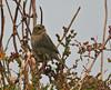"Nelson's Sharp-tailed Sparrow  <div id=""caption_tourlink"" align=""right"">[photo © guide George Armistead]</div>"