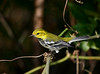 "Black-throated Green Warbler  <div id=""caption_tourlink"" align=""right"">[photo © guide George Armistead]</div>"