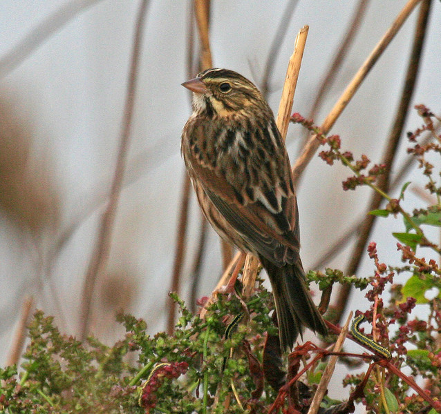 "Savannah Sparrow   <div id=""caption_tourlink"" align=""right"">[photo © guide George Armistead]</div>"
