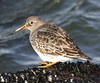 "Purple Sandpiper  <div id=""caption_tourlink"" align=""right"">[photo © guide George Armistead]</div>"