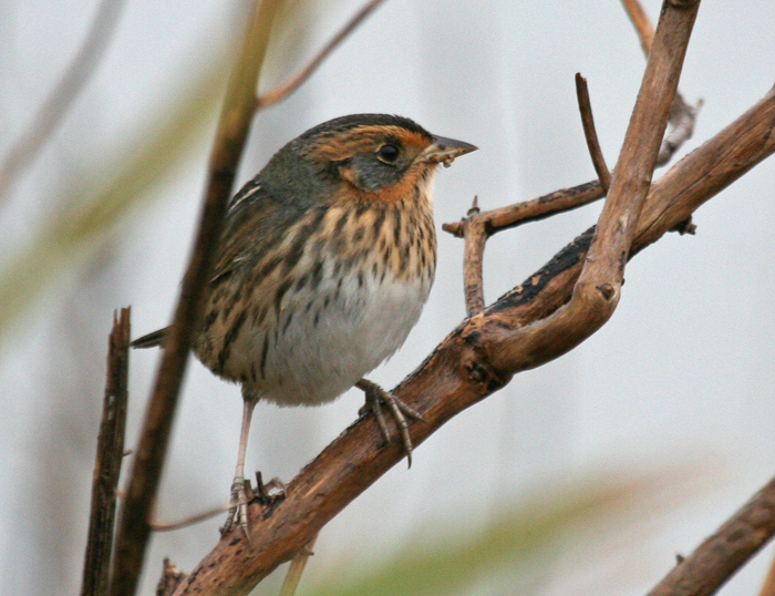 "Saltmarsh Sharp-tailed Sparrow  <div id=""caption_tourlink"" align=""right"">[photo © guide George Armistead]</div>"