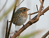 "Saltmarsh Sharp-tailed Sparrow  <div id=""caption_tourlink"" align=""right"">[photo © guide George Armistead]</div>"
