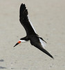 "Black Skimmer  <div id=""caption_tourlink"" align=""right"">[photo © guide George Armistead]</div>"