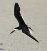 "Black Skimmer  <div id=""caption_tourlink"" align=""right"">[photo © guide George Armistead]</div>"