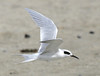 "Forster's Tern  <div id=""caption_tourlink"" align=""right"">[photo © guide George Armistead]</div>"