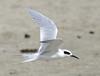 "Forster's Tern  <div id=""caption_tourlink"" align=""right"">[photo © guide George Armistead]</div>"