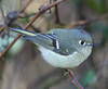 "Ruby-crowned Kinglet  <div id=""caption_tourlink"" align=""right"">[photo © guide George Armistead]</div>"
