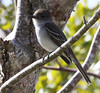 """La Sagra's Flycatcher is found only in the Bahamas, Cuba, and Grand Cayman.  <em>Myiarchus</em>, however, is a genus widespread in the Caribbean, but each island or island group has its own endemic species.<div id=""""caption_tourlink"""" align=""""right""""> [Photo © guide Jesse Fagan]</div>"""