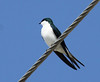 """Another Bahamian endemic, the sleek and fork-tailed Bahama Swallow.  In late March, this species had already returned to Abaco Island in good numbers.  Its winter movements in the Bahamas are poorly known. <div id=""""caption_tourlink"""" align=""""right""""> [Photo © guide Jesse Fagan]</div>"""