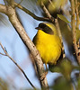 """Bahama Yellowthroat is also closely related to a mainland counterpart, and most males, such as this beauty from Abaco Island, show extensive yellow below with a yellow border to the black mask. The border can often show bits of yellow or gray. <div id=""""caption_tourlink"""" align=""""right""""> [Photo © guide Jesse Fagan]</div>"""
