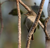 """A Cuban Pewee, shared with the Bahamas, on Abaco Island. <div id=""""caption_tourlink"""" align=""""right""""> [Photo © guide Jesse Fagan]</div>"""