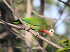 """A major highlight of Bahamas birding is finding the Cuban Parrot, currently lumped into one species ranging from Cuba to the Caymans to the Bahamas. It will likely be split and, if so, the Bahamian subspecies will be called Bahama Parrot.  These Bahamian birds have extensive white in the face and rose on the throat, and their calls are also the most distinctive among the different populations. <div id=""""caption_tourlink"""" align=""""right""""> [Photo © guide Jesse Fagan]</div>"""