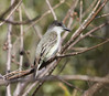 """Birds of this particular subspecies of Loggerhead Kingbird, <em>bahamensis</em>, have browner heads, more yellow on the underparts, and rusty-edged uppertail coverts.  The color of the uppertail coverts is a character not found on other populations.  <div id=""""caption_tourlink"""" align=""""right""""> [Photo © guide Jesse Fagan]</div>"""