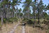 """Caribbean Pine woodland is an important habitat within Abaco Island National Park.  These pines are found throughout the Caribbean but also in Belize and along the north coast of Honduras. <div id=""""caption_tourlink"""" align=""""right""""> [Photo © guide Jesse Fagan]</div>"""