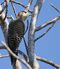 """A female West Indian Woodpecker on Abaco Island.<div id=""""caption_tourlink"""" align=""""right""""> [Photo © guide Jesse Fagan]</div>"""