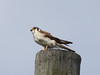 """As is often the case with island populations of widespread continental birds, the resident American Kestrel (<em>sparverioides</em>) looks different on the Bahamas: it's much paler below than mainland birds, which are uncommon migrants to the Bahamas. <div id=""""caption_tourlink"""" align=""""right""""> [Photo © guide Jesse Fagan]</div>"""