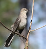 """The Bahama Mockingbird is found both on Abaco and Eleuthera but prefers more wooded areas than the Northern Mockingbird, which is common in the Bahamas. <div id=""""caption_tourlink"""" align=""""right""""> [Photo © guide Jesse Fagan]</div>"""