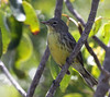 """A warbler highlight was again finding a wintering Kirtland's Warbler on Eleuthera Island. Here's our unbanded, female Kirtland's Warbler on Eleuthera Island in early April. <div id=""""caption_tourlink"""" align=""""right""""> [Photo © guide Jesse Fagan]</div>"""
