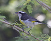 """The Bahamian subspecies of the widespread Bananaquit is quite different looking from other populations.  It is larger and has reduced yellow on the underparts.  Songs of course differ between all the island groups. <div id=""""caption_tourlink"""" align=""""right""""> [Photo © guide Jesse Fagan]</div>"""