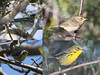 """In addition to the great variety of resident species, numerous migrants pass through or spend the winter in the Bahamas, including a variety of warblers, such as (clockwise from upper left): Northern Parula, """"Western"""" Palm Warbler, Prairie Warbler, and Yellow-throated Warbler (mainland subspecies)... <div id=""""caption_tourlink"""" align=""""right""""> [Photo © guide Jesse Fagan]</div>"""
