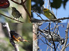 """...and Cape May Warbler (female and male at top), Black-and-White Warbler, and American Redstart.<div id=""""caption_tourlink"""" align=""""right""""> [Photo © guide Jesse Fagan]</div>"""