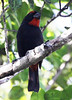 """A male Greater Antillean Bullfinch on Abaco. <div id=""""caption_tourlink"""" align=""""right""""> [Photo © guide Jesse Fagan]</div>"""