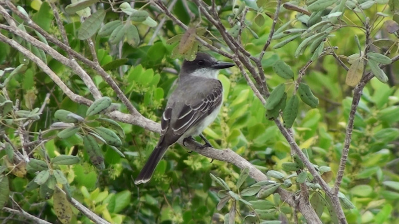 """A resident in the Bahamas, Loggerhead Kingbird (Tyrannus caudifasciatus).  This subspecies, bahamensis, is very pale above, making it a confusing comparison with Gray Kingbird (Tyrannus dominicensis).  However, note the unnotched tail with white tips; in addition, Gray Kingbird, a breeding visitor, hasn't arrived to the Bahamas yet in late-March (when this photo was taken). <div id=""""caption_tourlink"""" align=""""right"""">[video still © guide Jesse Fagan]</div>"""