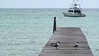 "Breeding-plumaged Laughing Gulls (Leucophaeus atricilla) and a Royal Tern (Thalasseus maximus) at Cherokee Sound, Abaco Island, Bahamas. <div id=""caption_tourlink"" align=""right"">[video still © guide Jesse Fagan]</div>"