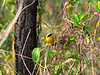 "The Bahama Yellowthroat (Geothlypis rostrata) is one of three endemics found in the Bahamas.  It is brighter below than mainland yellothroats with a yellow border to the black mask (this border can sometimes be white).  The call note is quite different from other yellowthroats.  <div id=""caption_tourlink"" align=""right"">[photo © participant Mark Conrad]</div>"