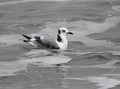 Barrow, Alaska: Search for Ross's Gull