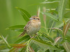 """There is a good mix of sparrows in the prairies, like this usually very difficult-to-see LeConte's Sparrow. Here we can find them in song, and they may even sit up in the open for you to have a scope look! <div id=""""caption_tourlink"""" align=""""right"""">[photo © participant Kevin Heffernan]</div>"""