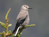 """Clark's Nutcracker is a specialist of the high elevations in the western mountains. It is also very intelligent and quickly learns to associate people with food -- in some spots the species has become quite tame. <div id=""""caption_tourlink"""" align=""""right"""">[photo © participant Kevin Heffernan]</div>"""