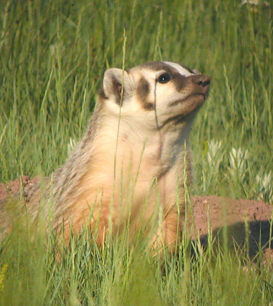 "American Badger <div id=""caption_tourlink"" align=""right"">[photo © guide Alvaro Jaramillo]</div>"