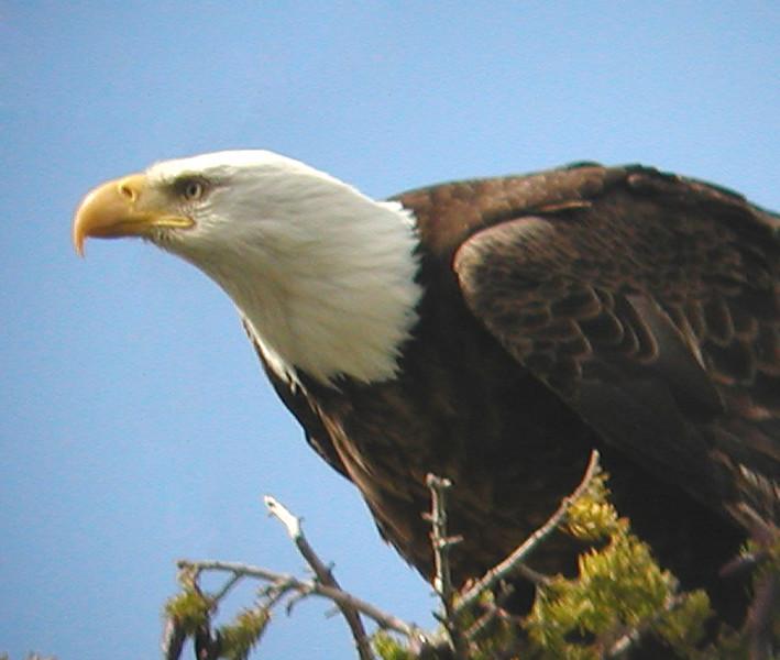 "Bald Eagle <div id=""caption_tourlink"" align=""right"">[photo © guide Jay VanderGaast]</div>"