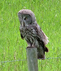 """Recently we have had some luck finding the enigmatic ghost of the forest, the Great Gray Owl. We will need luck finding him again, but some of the spots that guide Jay VanderGaast, who grew up in Alberta, knows seem to be golden for this species. <div id=""""caption_tourlink"""" align=""""right"""">[photo © participant Pat Newman]</div>"""
