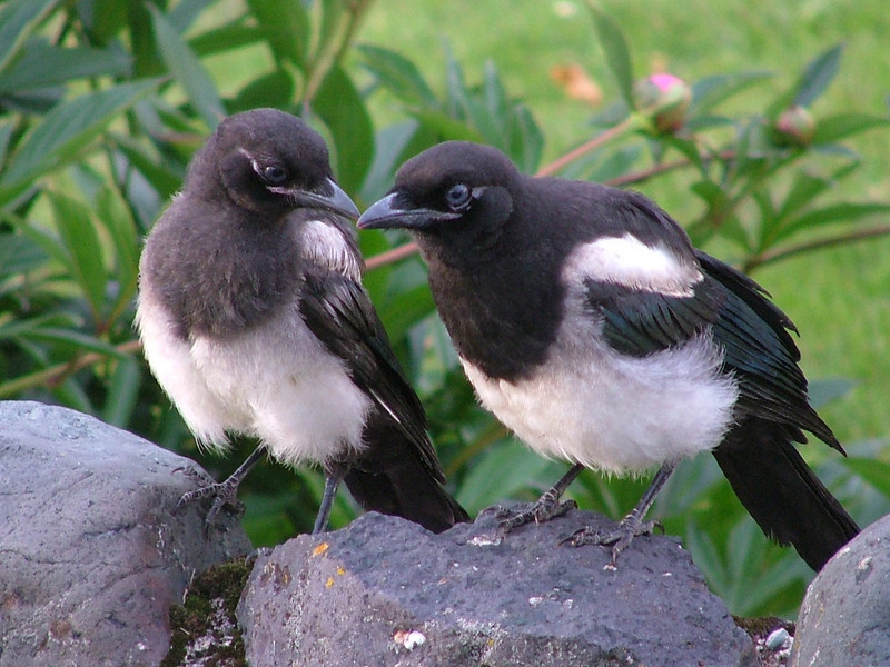 "Here is a Black-billed Magpie adult with young. This adaptable species is very common in Alberta, and up close it's actually a rather fancy and spectacular bird. <div id=""caption_tourlink"" align=""right"">[photo © participant Pat Newman]</div>"