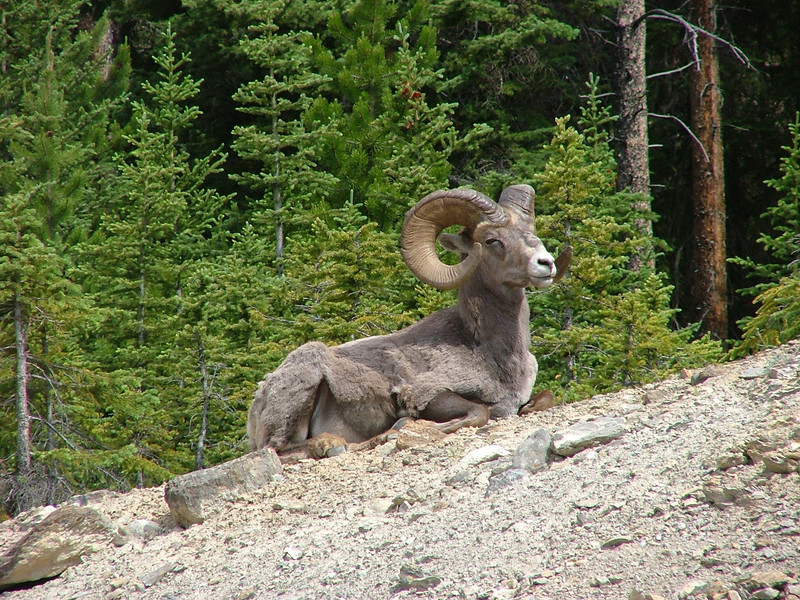 "Bighorn Sheep can be downright common, and they are much easier to find than the Mountain Goat. Even so, big males with the characteristic recurved horns are not as plentiful as females and young. <div id=""caption_tourlink"" align=""right"">[photo © participant Pat Newman]</div>"