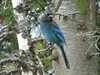 """The epitome of a western bird is the Steller's Jay. It is very closely related to the Blue Jay, but specializes in conifer forests, and if you have not been to the West, lemme tell ya.... it is full of conifer forests, all kinds, shapes and sizes of conifers. <div id=""""caption_tourlink"""" align=""""right"""">[photo © participant Pat Newman]</div>"""